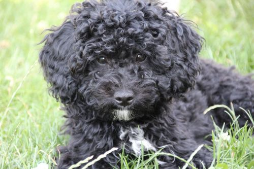 poodle puppy black