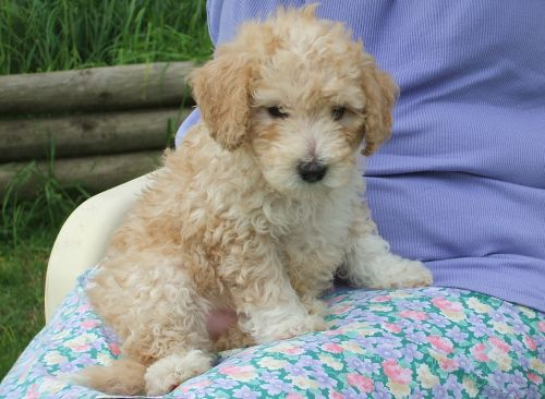 poodle puppy cute