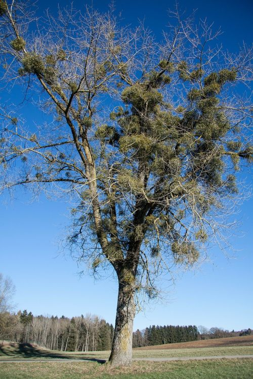 poplar tree mistletoe recovery