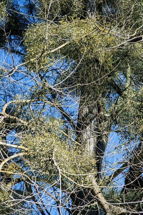 poplar tree mistletoe nature conservation