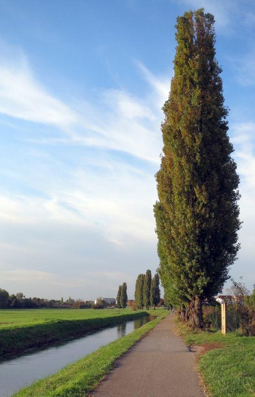tuopa,medis,lombardijos tuopa,Italijos tuopa,populus nigra,populus,nigra,populus nigra italica,aukštas,žalias,vasara,gamta,kraštovaizdis,gražus,peizažai,vaizdingas