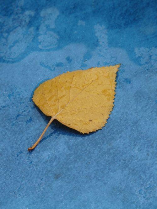 poplar leaf yellow fall color