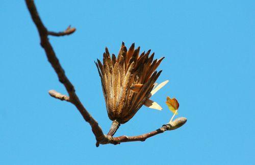 paprastosios sėklos,tulpių paprikas,paskutinis etapas,sėklų ankštis,flora,gėlių,šakelė,filialas,gamta