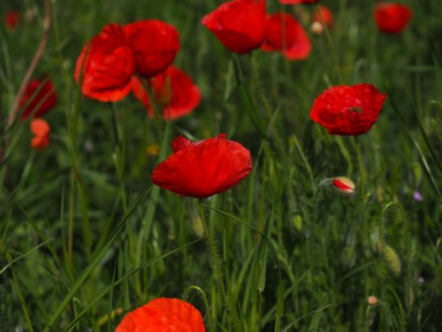 poppies field of poppies klatschmohnfeld