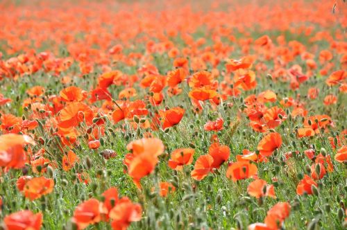 poppies poppy field of poppies