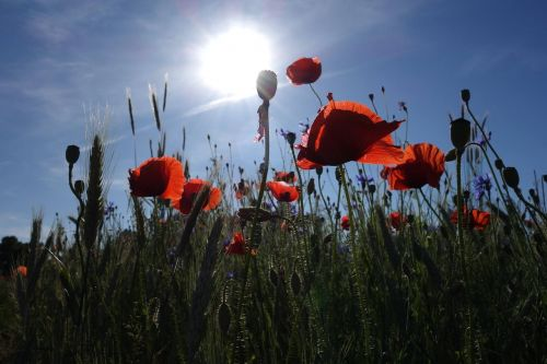 poppies meadow the sun
