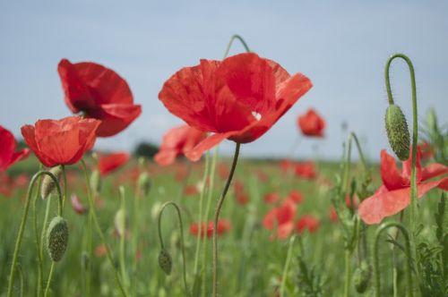 poppies flowers meadow