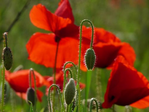 poppies red blossom