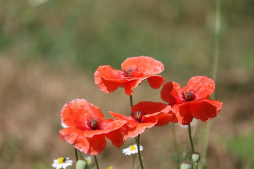 poppies flowers red