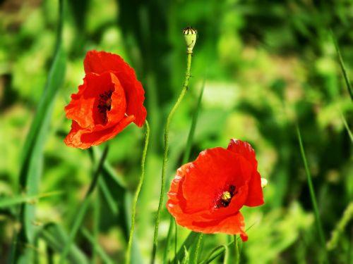 aguonos,augalai,gėlės,raudona,augalas,gėlė,žydi,aguonos gėlė,gamta,žydinčios aguonos,makowka