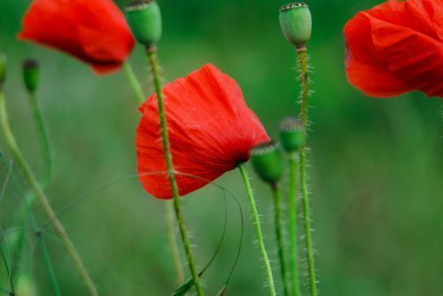 poppies green stems
