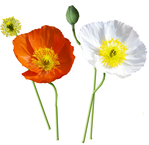poppies iceland stems