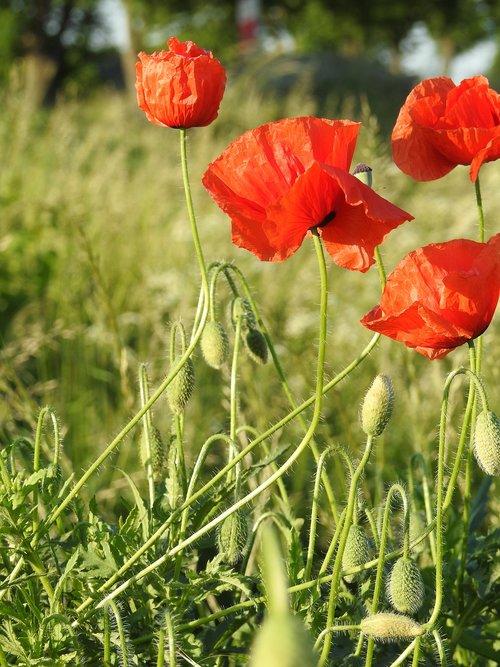 aguonos, pavasaris, Polne, žydi aguonos, gėlės, meadow, raudona, pobūdį, vasara, aguonos gėlė, aguonos srityje, laukas, augalų, Sodas, žolė, žydi, laukų gėlė