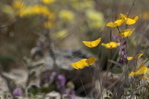 poppies  california  wildflowers