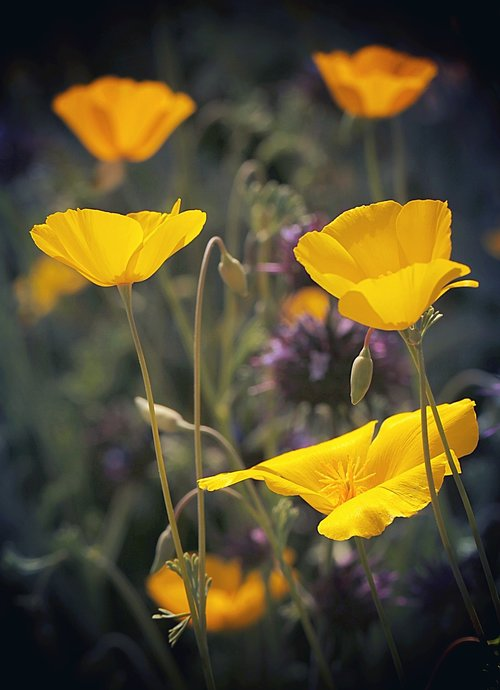 poppies  wildflowers  california