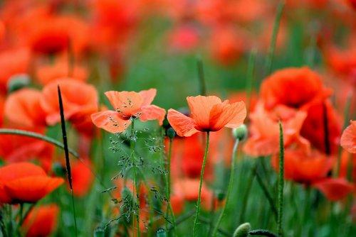 poppies  poppy  poppy field