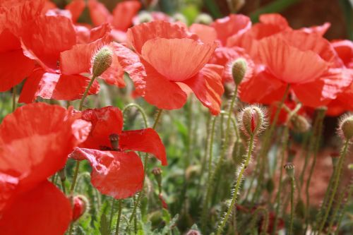 poppies flower campaign