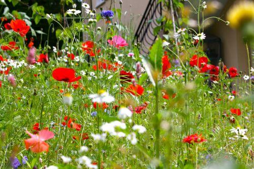 poppies meadow flowers summer