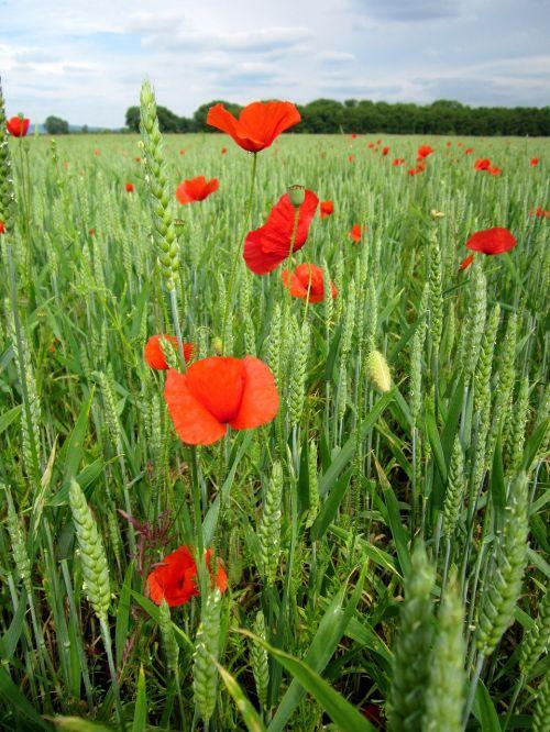 poppies field wheat