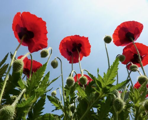 poppies red red flowers green leaves