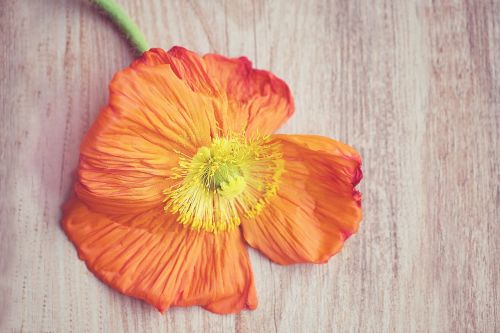 poppy are poppy orange