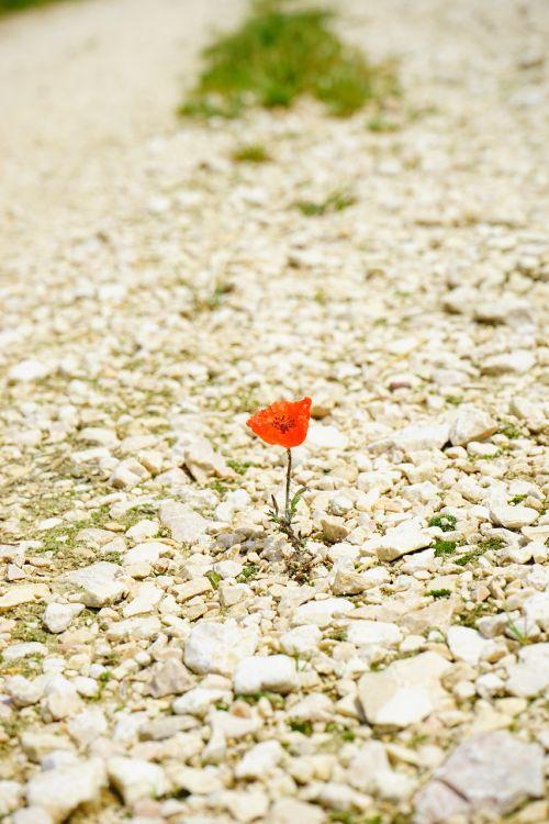 poppy flower blossom