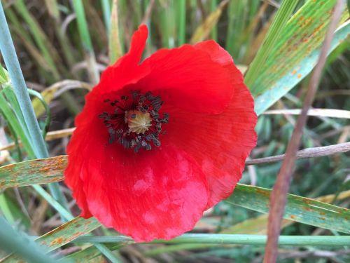 poppy flor naturaleza