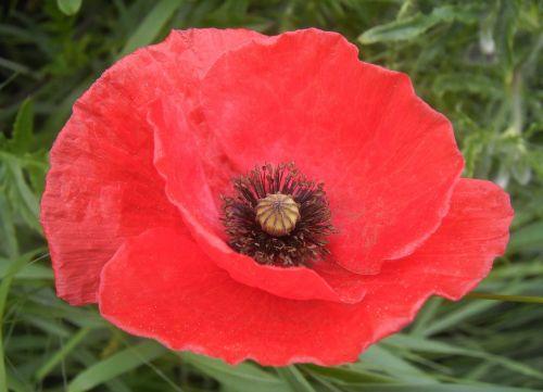 poppy petals red