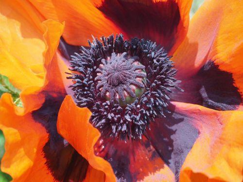 aguona,turkų aguona,rytietiška aguona,sodininkystė aguonų,perenn-mohn,ugnis-mohn,gėlė