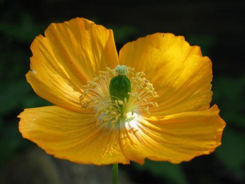 poppy core pestle