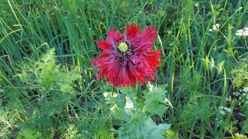 poppy opium poppy red poppy