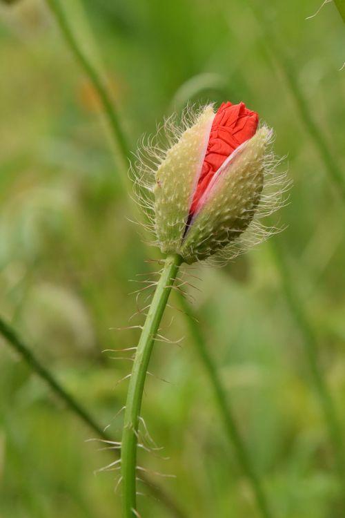 poppy bud plant