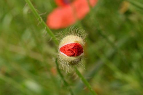 poppy bud poppy bud