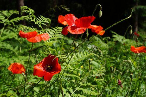 poppy poppy flower red poppy
