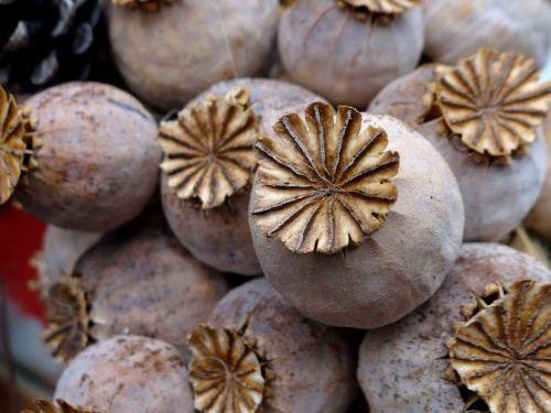 poppy poppy capsules mohngewaechs