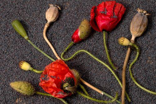 poppy flowers poppy capsules