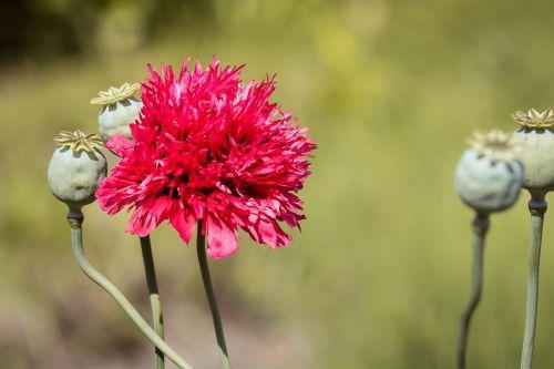 poppy filled poppy red