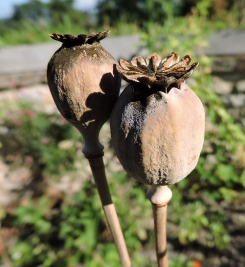 poppy encapsulate dry