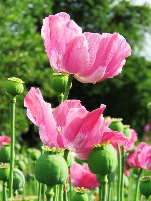 poppy opium poppy mohngewaechs