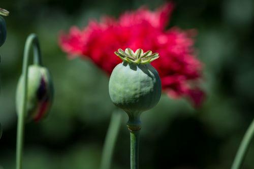 poppy poppy capsule capsule