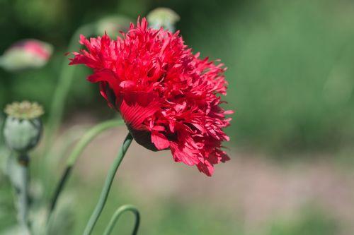 poppy red poppy red