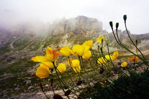 poppy flowers mountain