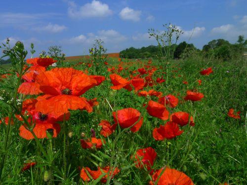 poppy poppies nature