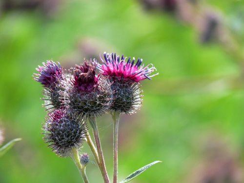 poppy nature detail