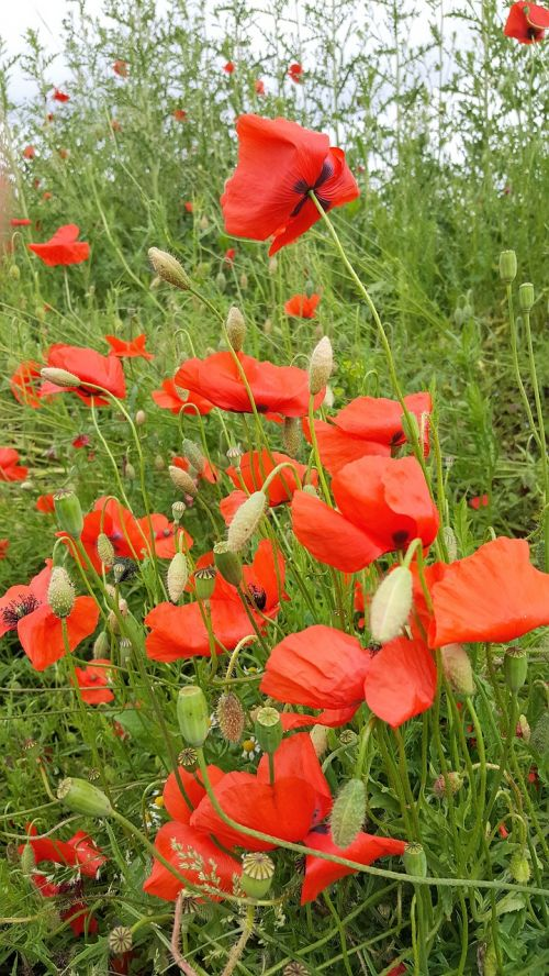 poppy nature field