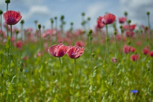 poppy field mohngewaechs