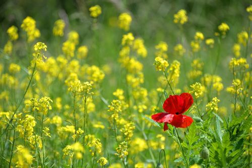 poppy only isolated form