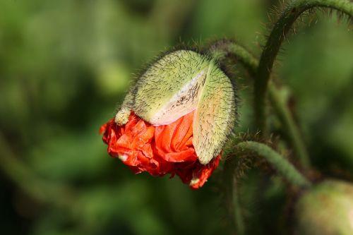 aguona,budas,oranžinė,ispanų aguonas,žiedas,žydėti,gamta,gėlė,augalas,sodas