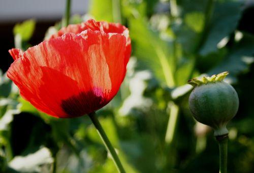 poppy flower open