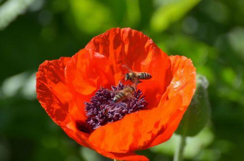poppy riesen bees